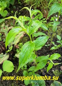 ТРИЦИРТИС КРУПНОЦВЕТКОВЫЙ (Tricyrtis macrantha subsp. macranthopsis)  Из всех видов трициртиса этот, вероятно, имеет  самые очаровательные и красивые цветы.  В сентябре и октябре длинные до 50 см арочные стебли увенчаны большими, до 5см в длину ярко-желтыми колокольчиками, внутри испещренными красными крапинками.  В природе растет на влажных скалистых утесах, красиво ниспадая каскадом вниз.   НОВИНКА! ЦЕНА 500 руб (шт)