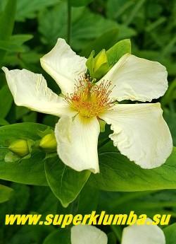 """ЗВЕРОБОЙ БОЛЬШОЙ  """"БЕЛОЦВЕТКОВЫЙ"""" (Hypericum asciron var. albiflorus) цветок крупным планом. НОВИНКА!  ЦЕНА 500 руб НЕТ  НА ВЕСНУ."""