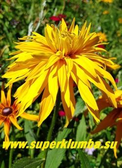 РУДБЕКИЯ ГИБРИДНАЯ №7 (Rudbeckia x hybrida) густо-махровые чисто- желтые крупные цветы с тонкими длинными лепестками и коричневой серединкой, диаметр цветка 12-15 см, высота 60-70 см, цветет июль-август.  ЦЕНА 300 руб. (делёнка)