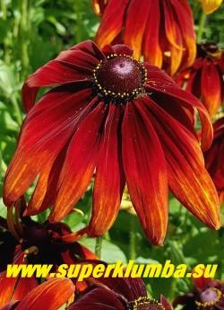РУДБЕКИЯ ГИБРИДНАЯ №14 (Rudbeckia x hybrida) Цветок крупным планом.  НОВИНКА! ЦЕНА 250 руб. (делёнка)