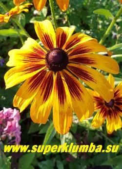 РУДБЕКИЯ ГИБРИДНАЯ №15 (Rudbeckia x hybrida)  цветок крупным планом. НОВИНКА! ЦЕНА 250 руб. (делёнка)