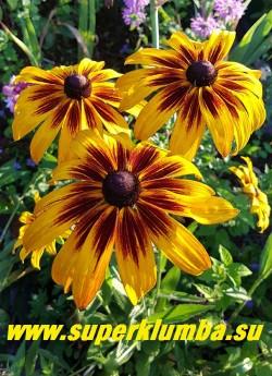 РУДБЕКИЯ ГИБРИДНАЯ №15 (Rudbeckia x hybrida) желтые крупные цветы с длинными шоколадными лучами  в центре,  диаметр цветка 12-13 см, высота 60-70 см, цветет июль-август. НОВИНКА! ЦЕНА 250 руб. (делёнка)