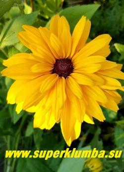 РУДБЕКИЯ ГИБРИДНАЯ №8 (Rudbeckia x hybrida) махровые яично- желтые крупные цветы с широкими лепестками и темно- коричневой серединкой, диаметр цветка 12-15 см, высота 60-70 см, цветет июль-август. ЦЕНА 250 руб. (делёнка)
