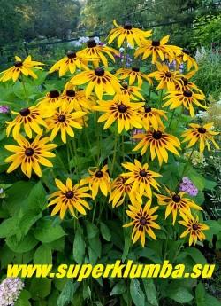 РУДБЕКИЯ ГИБРИДНАЯ №13 (Rudbeckia x hybrida) цветущий куст. НОВИНКА!  ЦЕНА 200 руб. (делёнка)