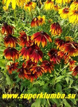 РУДБЕКИЯ ГИБРИДНАЯ №14 (Rudbeckia x hybrida) красно-коричневые крупные цветы, диаметр цветка 12-13 см, высота 60-70 см, цветет июль-август. НОВИНКА! ЦЕНА 250 руб. (делёнка)
