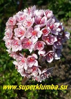 Розовые цветы ДАРМЕРЫ собранные в плотные щитковидные соцветия появляются в мае пока листья еще спят после зимы. ЦЕНА 300-400 руб (делёнка)