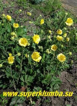 ГРАВИЛАТ «Джимлет» (Geum hybride «Geum  'Gimlet'») Сортосерия Cocktails.  Изящные кустики с нежными лимонно-желтыми полумахровыми  цветами со взьерошенными лепестками. Высота 35-45 см. Цветет с конца мая постоянно в течение 3-4 недель.  Неприхотлив. НОВИНКА! ЦЕНА 300 руб (1 делёнка)