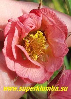 """ГРАВИЛАТ  """"Белл бенк""""  (Geum hybride """"Bell Bank"""")  Сортосерия «Cocktails»  Кораллово-розовые полумахровые цветки  на бордовых стеблях. Высота 35-50см. Цветет с конца мая постоянно в течение 3-4 недель. НОВИНКА! ЦЕНА 300 руб (1 делёнка)"""