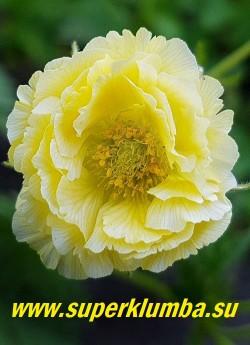 ГРАВИЛАТ «Джимлет» (Geum hybride «Geum  'Gimlet'») цветок крупным планом. НОВИНКА! ЦЕНА 300 руб (1 делёнка)