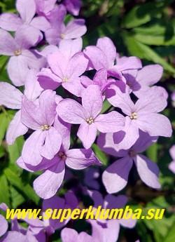 ЗУБЯНКА ПЯТИЛИСТНАЯ (Dentaria quinquefolia) Цветки сиренево-розовые, соединены в щитковидную метелку. Цветет с апреля до начала июня. Высыхание надземной части происходит в конце июня. Народное название «лесная сирень». ЦЕНА 200 руб (1 шт)