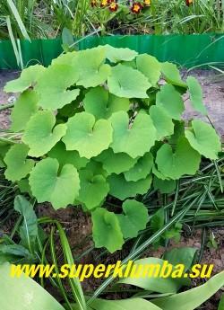 ДЖЕФФЕРСОНИЯ СОМНИТЕЛЬНАЯ (Jeffersonia dubia) кустик после цветения. В саду ей следует отвести тенистое или полутенистое место, лучше под пологом деревьев или среди кустарников. Почва должна быть рыхлой, влажной, достаточно богатой перегноем. НОВИНКА! НЕТ ПРОДАЖЕ.