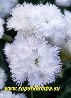 "ГВОЗДИКА ПЕРИСТАЯ ""Дабл Уайт""  (Dianthus plumarius Double White)   цветы крупным планом. . НОВИНКА!  ЦЕНА 300 руб (кустик)"
