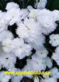 """ГВОЗДИКА ПЕРИСТАЯ """"Дабл Уайт""""  (Dianthus plumarius Double White)   Ароматные густомахровые белоснежные цветы  с бахромчатыми «морозными» краями НОВИНКА!  ЦЕНА 300 руб (кустик)"""