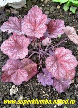 """Гейхера """" БОЖОЛЕ"""" (Heuchera """"Beaujolais"""") на фото листва в начале лета. Листва и черешки опушены , отчего кустик кажется бархатистым. Цветы бело-кремовые, Солнце-полутень.  ЦЕНА 300-350 руб (куст) НЕТ НА ВЕСНУ"""