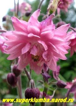 """АКВИЛЕГИЯ МАХРОВАЯ """"Пинк Барлоу"""" (Aquilegia """"Pink Barlow"""") розовые густо -махровые цветы, цветет июнь-июль, высота 60-80 см. НОВИНКА! ЦЕНА 200 руб"""