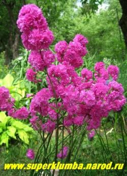 """СМОЛКА ОБЫКНОВЕННАЯ """"Флоре плено"""" (Lychnis viscaria var. flore pleno) Растение до 50 см высотой с узкими, линейными, темно-зелеными прикорневыми листьями и махровыми цветами, ЦЕНА 300 руб (1 деленка)"""