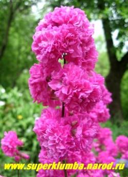 """СМОЛКА ОБЫКНОВЕННАЯ """"Флоре плено"""" (Lychnis viscaria var. flore pleno ) Цветки розово-малиновые, 3 см в диаметре, сильно махровые, собраны в кистевидное соцветие по 7-15 шт . Цветет с начала июня 30-35 дней. ЦЕНА 300 руб ( 1 деленка)"""