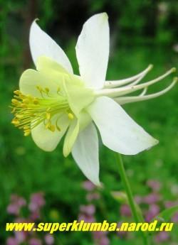 АКВИЛЕГИЯ ГИБРИДНАЯ №1 (Aquilegia х hybrida )  крупные цветы с белым околоцветником и лимонным венчиком, цветет июнь-июль, высота 60-80 см. ЦЕНА 150-200 руб