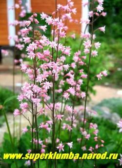 """ГЕЙХЕРЕЛЛА """"Бриджит блум"""" (Heucherella """"Bridget Bloom"""" )  цветоносы крупным планом. Цветы нежно-розовые на многочисленных тонких цветоносах Ценится за обильное и продолжительное цветение. ЦЕНА 200-250 руб (куст)"""