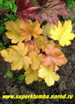 """Гейхера """"МАРМЕЛАД"""" (Heuchera """"Marmalade"""") Яркая резная янтарная листва разных оттенков с темно-розовой изнанкой. Хорошо относится и к солнечному местоположению и к полутени. Разрастается медленно, цв. июнь-июль, высота 15-20 см, НЕТ  В ПРОДАЖЕ"""