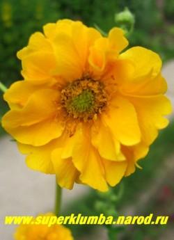 """ГРАВИЛАТ ГИБРИДНЫЙ """"Дабл санрайз"""" (Geum x hybridum """"Double Sunrise """") гравилат с крупными махровыми желтыми цветами до 5 см в диаметре, собранными в рыхлые соцветия. Цветет обильно и продолжительно с июня по сентябрь. Высота 20-30см. НЕТ  В ПРОДАЖЕ"""