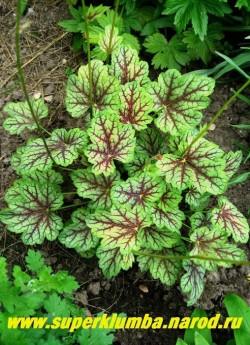 """Гейхера """"ГРИН СПАЙС"""" (Heuchera """"Green Spice"""") Молодые листья имеют легкую желтизну в зеленой окраске и контрастные пурпурно-красные оттенки вокруг жилок, которые со временем исчезают, серебряные пятна усиливаются, а зеленая окраска становится темной, высота 15-20 см, Цветы мелкие зеленоватые. ЦЕНА 250-300 руб (куст)"""