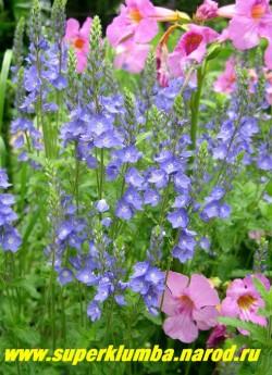 ВЕРОНИКА БОЛЬШАЯ (Veronica teucrium)  компактное растение, образующее плотный шарообразный куст высотой 25 см ,а с цветоносами до 50 см, цветет с конца мая 40-45 дней. Солнцелюбива. Влаголюбива, но засухоустойчива. ЦЕНА 150 руб (1дел)