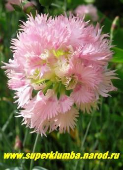 """ГВОЗДИКА ГИБРИДНАЯ """" Пинк миссис Синкинс"""" (Dianthus hybrida «Pink Mrs Sinkins»)  махровая нежно-розовая, Прекрасно стоит в срезке, с очень приятным запахом, обильноцветущая, высота до 25см, цв. июнь-июль, ЦЕНА 200-250 руб ( (1 делёнка)"""