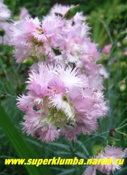 """ГВОЗДИКА ГИБРИДНАЯ """" Пинк миссис Синкинс"""" (Dianthus hybrida «Pink Mrs Sinkins») Лепестки с длинными зубчиками, их так много, что чашечка часто растрескивается , придавая цветам несколько экзотичный вид. ЦЕНА 200-250 руб  (1 делёнка)"""