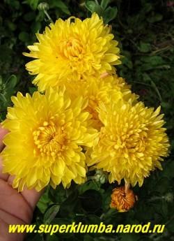 """Хризантема """"СЯЙВО"""". Мощная хризантема с крупными яично-желтыми до 8 см в диаметре густомахровыми цветами. Высота 50-65 см. Цветет с конца августа -октябрь. На зиму желательно профилактическое укрытие (на случай бесснежных морозов зимой). НЕТ В ПРОДАЖЕ"""