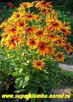 РУДБЕКИЯ ГИБРИДНАЯ №1 (Rudbeckia x hybrida) желтые с терракотовым центром цветы в процессе цветения становятся почти полностью терракотовыми, диаметр цветка 10-11см. Высота 80 см, цветение  июль-август.  ЦЕНА 200 руб. (делёнка)