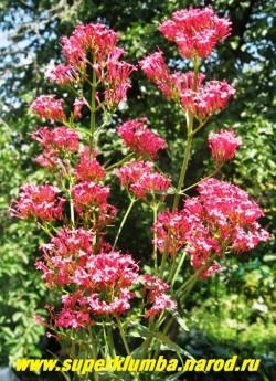"""КЕНТРАНТУС КРАСНЫЙ """"Коццинеус"""" (Centranthus ruber """"Coccineus"""") Долго и красивоцветущий многолетник с голубоватыми листьями и душистыми малиново-розовыми цветами, собраными в большие разветвленные соцветия. Высота 50-70 см. НОВИНКА!  НЕТ В  ПРОДАЖЕ"""