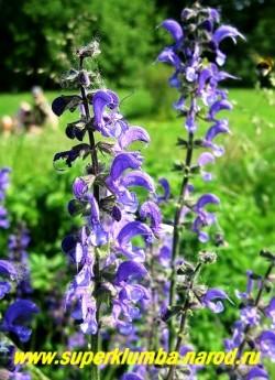 ШАЛФЕЙ ЛУГОВОЙ (Salvia pratensis) Цветы крупным планом. !   НЕТ В ПРОДАЖЕ