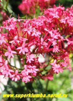 """КЕНТРАНТУС КРАСНЫЙ """"Коццинеус"""" (Centranthus ruber """"Coccineus"""") Соцветие крупным планом. Цветет с июня до осени. предпочитает участки в сухом солнечном, теплом, а также жарком месте. НЕТ В  ПРОДАЖЕ"""