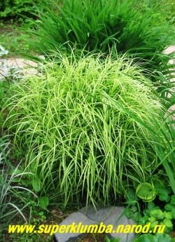 """ОСОКА ПАЛЬМОЛИСТНАЯ """"Вариегата""""(Carex muskingumensis """"Variegata"""") Зеленая листва с ярко-белой полосой, расположенная пучками на концах прямостоячих побегов, создает экзотический эффект папируса. высота 60-70 см. Неприхотлива и очень красива. Может использоваться для оформления прибрежной зоны водоема. ЦЕНА 200-250 руб (делёнка)"""