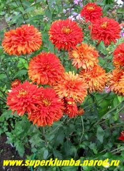 """Хризантема """"ДИПЛОМАТ"""". Мощная хризантема с крепкими толстыми стеблями и с крупными густомахровыми цветами охристо-красного цвета. Диаметр цветка 7-8 см. На зиму желательно профилактическое укрытие. НЕТ В ПРОДАЖЕ"""