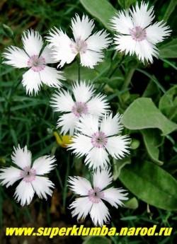 """ГВОЗДИКА ПЕРИСТАЯ """"Белая"""" (Dianthus plumarius)  белые цветы с розовым колечком в центре, диаметр . цветка до 3.5 см, высота до 20 см, цветет июнь-июль.  НЕТ В ПРОДАЖЕ"""
