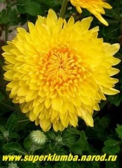 """Хризантема """"СЯЙВО"""". Цветок крупным планом. НЕТ В ПРОДАЖЕ"""