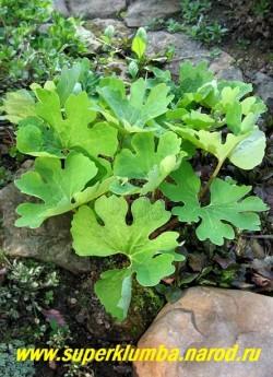 на фото листва САНГВИНАРИИ КАНАДСКОЙ (Sanguinaria canadensis) после цветения . Листья крупные зубчаторассеченные голубовато-серые, сердцевидной формы, после цветения достигают до 30 см в высоту. ЦЕНА 300 руб (1 цветущая почка)