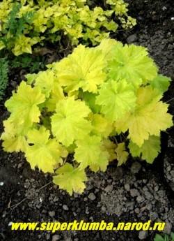"""Гейхера """"ПИСТАШ"""" (Heuchera """"Pistache"""") Крупная гейхера с очень большими округлыми лимонно-желтыми листьями, покрытыми мягкими волосками, цветы крупные белые, растет быстро, очень эффектна с темнолистными сортами. Высота 25-30 см, цветет июнь-июль, тень-полутень.НЕТ В ПРОДАЖЕ"""