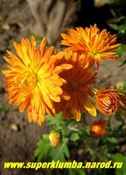 """Хризантема """"ОРАНЖЕВАЯ"""". Низкая хризантема с махровыми желто-оранжевыми цветами диаметром 5,5 -7 см, цветет с августа- октябрь, высота 25-30 см. ЦЕНА 200 руб (1 шт)  НЕТ В ПРОДАЖЕ"""