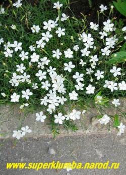 """ГВОЗДИКА ТРАВЯНКА """" БЕЛОЕ КОНФЕТТИ"""" Dianthus deltoides  'Confetti White' )  миниатюрная гвоздика с белыми цветами диаметром 1,5-2 см, высота до 20 см, цветет июнь-июль, ЦЕНА 200 руб (1 деленка)"""