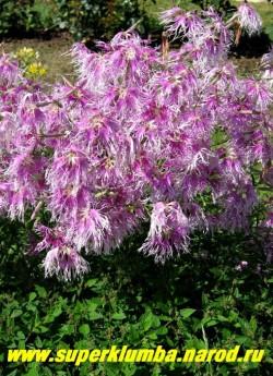 """ГВОЗДИКА ПЕРИСТАЯ """"Радуга любви"""" розовая (Dianthus plumarius). Очень нежная гвоздика с неземным ароматом, высота до 35 см, цветет с июня-июль.  НЕТ В ПРОДАЖЕ"""
