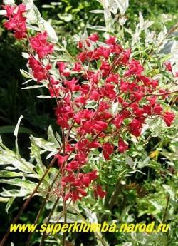 """Гейхера КРОВАВО-КРАСНАЯ """"ЛЕХТКАФЕР"""" (Heuchera sanguinea """"Leuchtkafer"""") известный красивоцветущий сорт с зеленой со светлыми разводами листвой и ярко-красными крупными колокольчиками, высота 15-20см, с цветоносами до 50 см. НЕТ В ПРОДАЖЕ"""