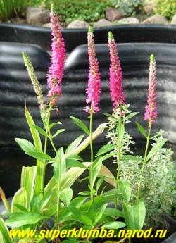 """ВЕРОНИКА КОЛОСКОВАЯ """"Ред фокс"""" (Veronica spicata ''Red Fox'') низкий кустик с красно-малиновыми колосовидными соцветиями. Цветет с середины июня 35-40 дней, Предпочитает полное солнце и легкие почвы. Высота до 25см. НОВИНКА! ЦЕНА 200 руб (1дел)"""