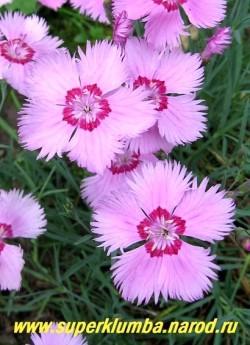 """ГВОЗДИКА АЛЬПИЙСКАЯ  """"Розовая"""" (Dianthus alpinus) розовые цветы с малиновым колечком в центре, диаметр цветка 3,5 см, высота до 15 см, цветет июнь-июль, ЦЕНА 200-250 руб  (1 делёнка)"""