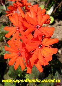"""ЛИХНИС АЙКРАЙТА """" Везувий"""" (Lychnis arkwrightii """"Vesuvius"""") цветы крупным планом.  НЕТ В ПРОДАЖЕ"""