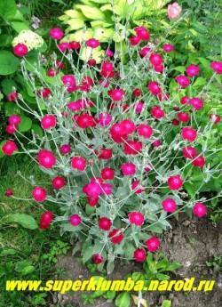 """ЛИХНИС КОРОНЧАТЫЙ """"малиновый"""" (Lychnis coronaria)  Множество ярких цветов распускается в июне над серой листвой. Цветет этот лихнис все лето до заморозков. Высота до 70 см. ЦЕНА 150руб (1 кустик)"""