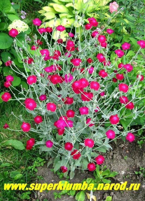 фото цветов лихнис