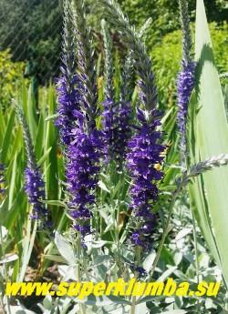 Зацветает ВЕРОНИКА СЕДАЯ «Сильвер карпет» (Veronica incana «Silver Carpet»). Темносиние цветы выгодно оттеняют светлую серебристую листву. Предпочитает полное солнце и легкие почвы. НОВИНКА! ЦЕНА 250 руб (1дел)